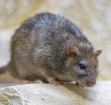 Rats and Mice Pest Control